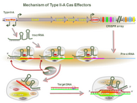 Mechanism of Type II-A Cas Effectors PPT Slide