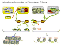 Heterochromatin regulation by Polycomb and Trithorax PPT Slide