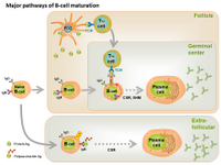 Major pathways of B-cell maturation PPT Slide