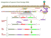 Integration of spacers from foreign DNA PPT Slide