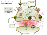 Serotonin regulation at serotonergic neurons PPT Slide