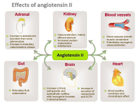 Effects of Angiotensin II PPT Slide