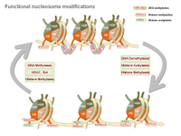 Functional nucleosome modifications PPT Slide