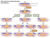 DSB repair via Homology-dependent Recombination PPT Slide