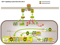 GLP-1 signaling in pancreatic beta cells II PPT Slide