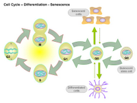 Cell Cycle - Differentiation - Senescence PPT Slide