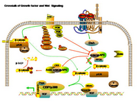 Crosstalk of GF and Wnt Signaling PPT Slide