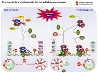 Rb pro-apoptotic and anti-apoptotic function upon DNA damage PPT Slide