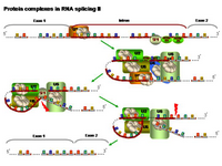 Protein complexes in RNA splicing II PPT Slide