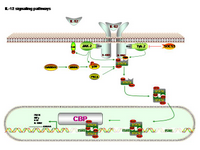 IL-12 Signaling PPT Slide