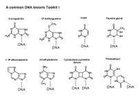 A common DNA lesions Toolkit I PPT Slide