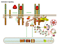IL-3 signaling PPT Slide