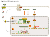 Regulation of MDR1 expression PPT Slide