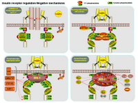 Insulin receptor regulation - Negative mechanismsms PPT Slide