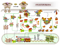 LPS and TLR Signaling PPT Slide
