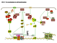 HTLV-1 Tax mechanisms in cell transformation PPT Slide