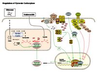 Regulation of pyruvate carboxylase PPT Slide