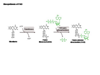 Biosynthesis of FAD PPT Slide