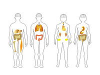 Human body shapes 2 PPT Slide