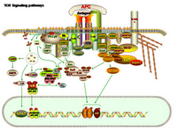 TCR Signaling pathways PPT Slide