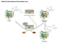 Tubulin De-Tyrosination and Tyrosination cycle PPT Slide