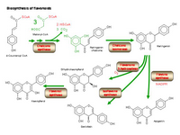 Biosynthesis of flavonoids PPT Slide