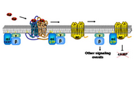GPCR inhibition of AC PPT Slide