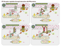 Regulation of IP3R through protein interactions PPT Slide