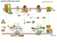 Regulation of IP3R calcium channel PPT Slide