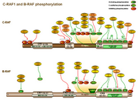 Raf1 and Braf phosphorylation PPT Slide
