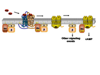 GPCR activation of AC PPT Slide