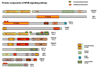 Protein components of NFkB signaling PPT Slide