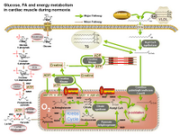Energy metabolism in cardiac muscle PPT Slide