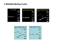 A Nucleic Acids Blotting Toolkit PPT Slide