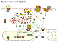 Molecular mechanisms in cardiac hypertrophy PPT Slide