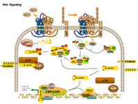 Wnt Signaling PPT Slide