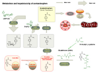 Metabolism and hepatotoxicity of acetaminophen PPT Slide