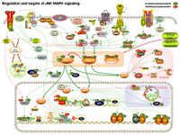 Regulation and targets of JNK MAPK signaling PPT Slide