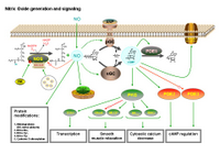 Nitric oxide generation and signaling PPT Slide