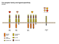 Trk receptor family and specificity PPT Slide