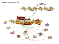 Signaling DNA damage by ATM PPT Slide