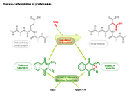 Gamma-carboxylation of prothrombin PPT Slide