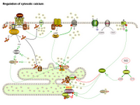 Regulation of cytosolic calcium PPT Slide