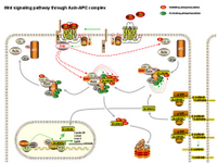 Wnt signaling through Axin-APC complex PPT Slide