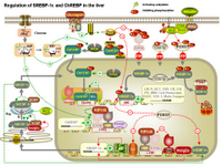 Regulation of SREBP-1c and ChREBP in the liver PPT Slide