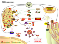 ROS in apoptosis PPT Slide