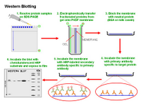 Western Blotting PPT Slide