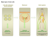 Major types of stem cells PPT Slide