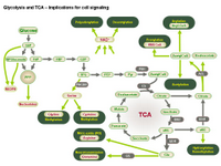 Glycolysis and TCA - Implications for cell signaling PPT Slide