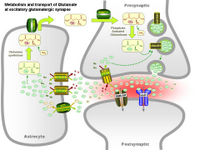 Metabolism and transport of Glutamate at glutamatergic synapse PPT Slide